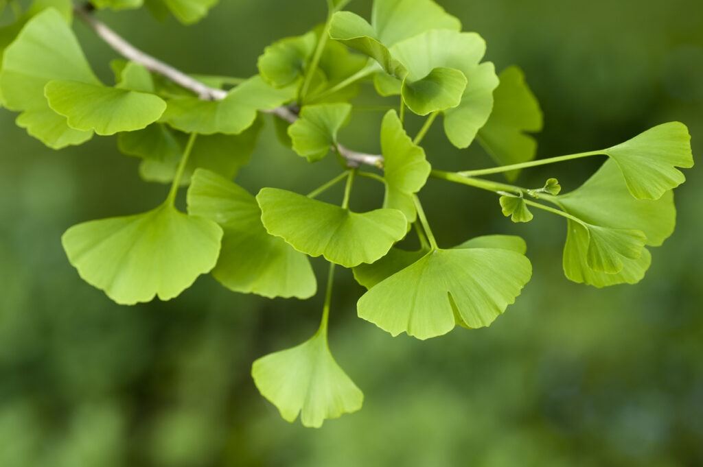 Ginkgo - pro mind complex ingredient reviews
