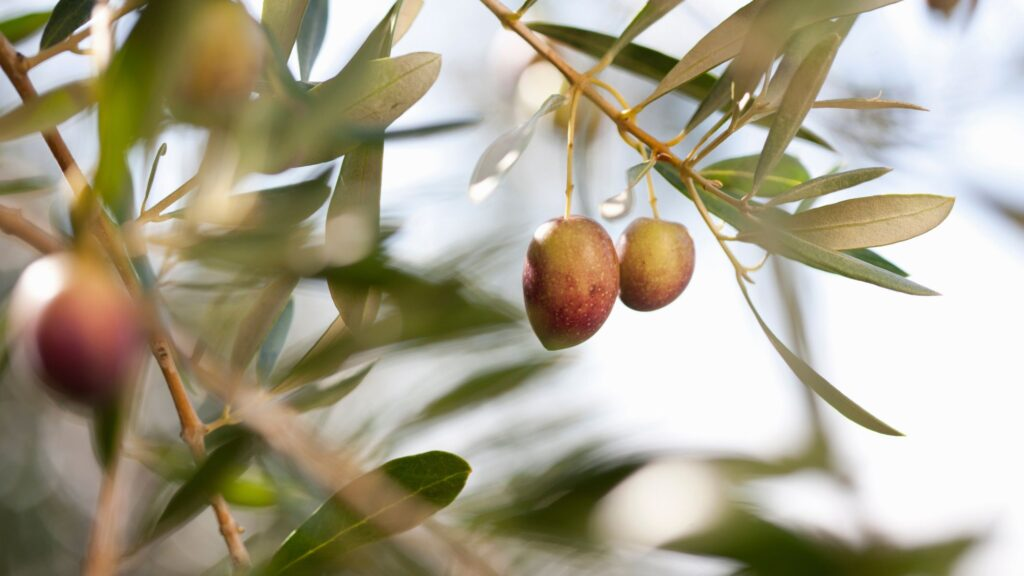 Olive leaves - one of the ingredients on sonus complete supplement